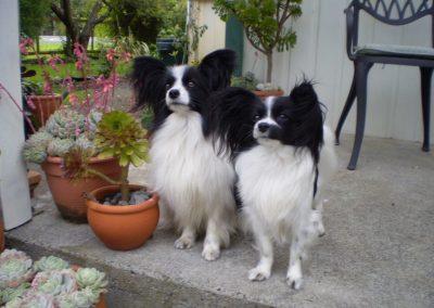 Staff Dogs 5