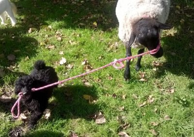 Staff Dogs 7